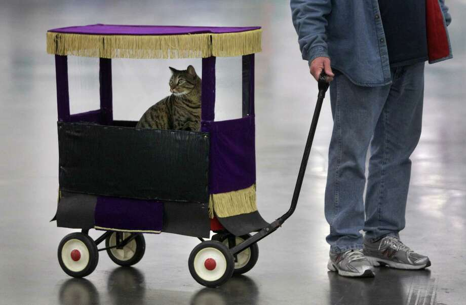 Pat Sloan of Stafford pulls his house cat named Tippy in a wagon as they go to the show ring during the Houston Cat Club 60th Annual Charity Cat Show at the George R. Brown Convention Center Sunday, Jan. 6, 2013, in Houston. Photo: Melissa Phillip, Houston Chronicle / © 2012 Houston Chronicle