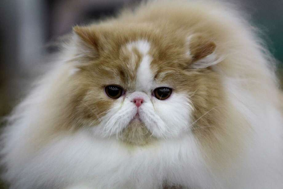 DAVID: A bicolor Persian owned by Liza Callaghan of Katy is shown during the Houston Cat Club 60th Annual Charity Cat Show at the George R. Brown Convention Center Sunday, Jan. 6, 2013, in Houston. Photo: Melissa Phillip, Houston Chronicle / © 2012 Houston Chronicle