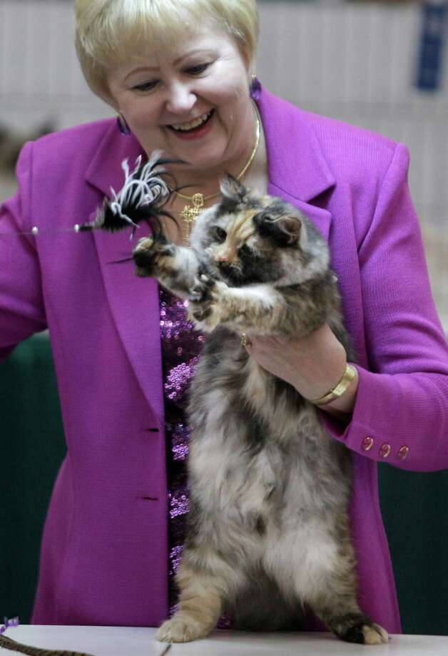 ARWEN: Donna Fuller judges a Siberian cat named Arwen during the Houston Cat Club 60th Annual Charity Cat Show at the George R. Brown Convention Center Sunday, Jan. 6, 2013, in Houston. Photo: Melissa Phillip, Houston Chronicle / © 2012 Houston Chronicle