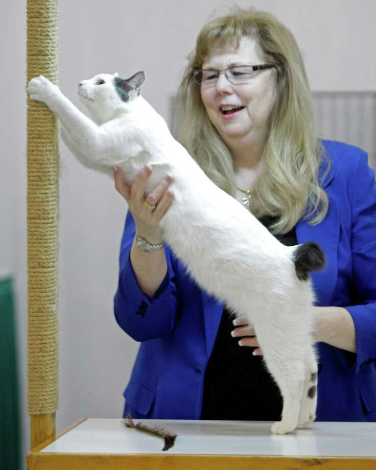 PASHA BLUE:Vicki Nye judges a house cat that is owned by Kristen Halverson of Bastrop during the Houston Cat Club 60th Annual Charity Cat Show at the George R. Brown Convention Center Sunday, Jan. 6, 2013, in Houston. Photo: Melissa Phillip, Houston Chronicle / © 2012 Houston Chronicle