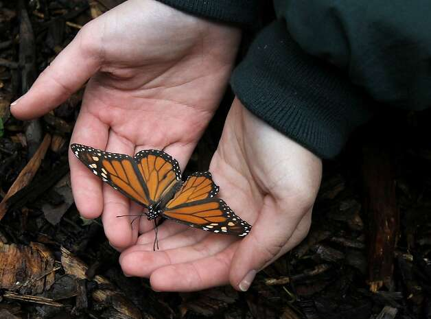 Fremont's Ardenwood Historic Farm is one of a few Bay Area points that attract the monarchs. Photo: Brant Ward, The Chronicle
