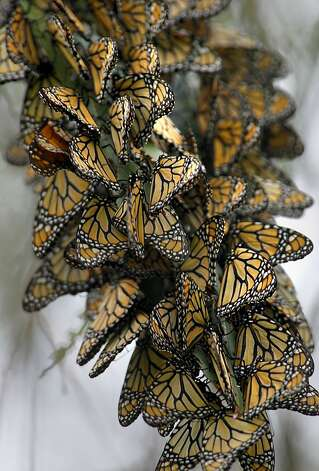 It's a mystery why the monarchs come 800 miles yearly from British Columbia to the same place. Photo: Brant Ward, The Chronicle