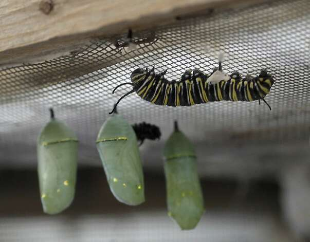 The Monarch chrysalis stage where the caterpillar becomes a butterfly is monitored at the farm. At the Ardenwood Historic Farm in Fremont, Calif. hundreds of mysterious wintering Monarch butterflies are coping with a cold winter Sunday January 6, 2013. Photo: Brant Ward, The Chronicle