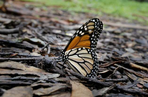 A Monarch butterfly finds itself on the ground beneath Eucalyptus trees at the farm.  The butterfly must fly away quickly before insects get at it. At the Ardenwood Historic Farm in Fremont, Calif. hundreds of mysterious wintering Monarch butterflies are coping with a cold winter Sunday January 6, 2013. Photo: Brant Ward, The Chronicle