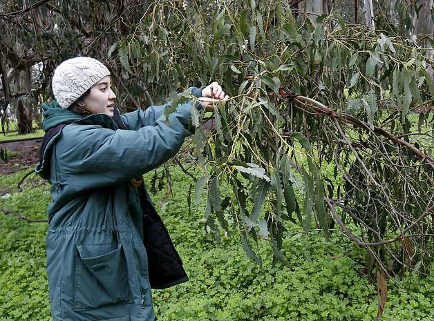 Interpretive aide Kelsy Jorgensen tried to return a fallen Monarch butterfly to a eucalyptus branch at the farm.  At the Ardenwood Historic Farm in Fremont, Calif. hundreds of mysterious wintering Monarch butterflies are coping with a cold winter Sunday January 6, 2013. Photo: Brant Ward, The Chronicle