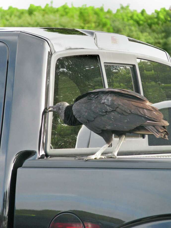 A black vulture nibbles at the vinyl on a truck's window seal. Photo: Curtis Morgan, MBR / Miami Herald