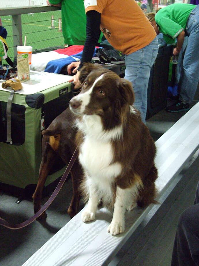 Alamo Dog Obedience Club AKC agility trials Photo: Pam Howell