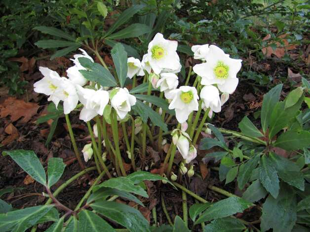 Helleborus niger, also known as the Christmas rose, is in bloom right now. Photo: Contributed Photo