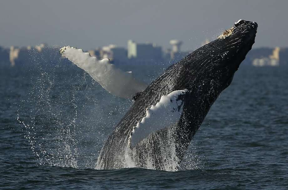Cetacean sensation: Passengers taking a Virginia Aquarium-sponsored boat trip aboard the Rudee Flipper are treated to the sight of a humpback whale breaching off Norfolk. Photo: Stephen M. Katz, Associated Press