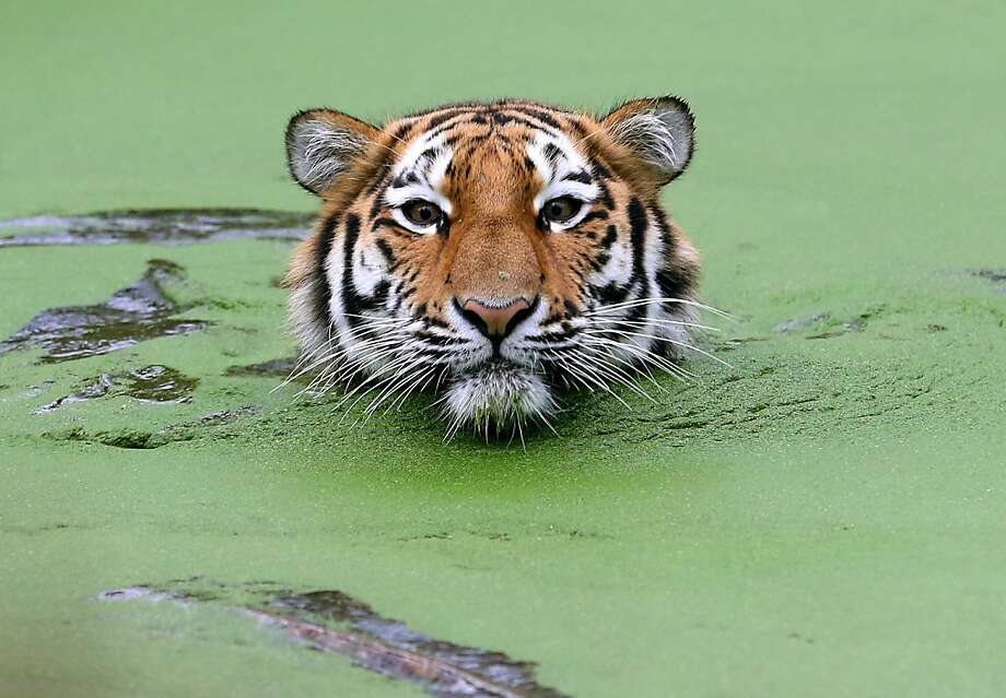 Did someone forget to tip the pool boy? The tiger pond at the zoo in Duisburg, Germany, looks like it could use some chlorine tablets. Photo: Roland Weihrauch, AFP/Getty Images