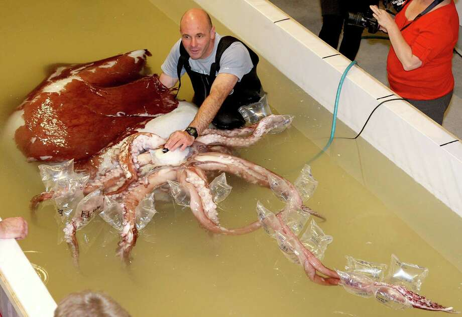 Lead Technician of Te Papa Mark Fenwick sits in the tank with a giant squid at the Te Papa Museum on April 30, 2008 in Wellington,  New Zealand. (Photo by Marty Melville/Getty Images) / 2008 Getty Images
