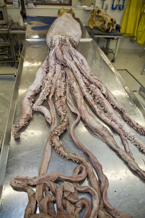 This female giant squid is the larger of two on display in the Smithsonian's Sant Ocean Hall. CREDIT: Don Hurlbert/Smithsonian Institution / This image was obtained from the Smithsonian Institution. The image or its contents may be protected by international copyright laws.