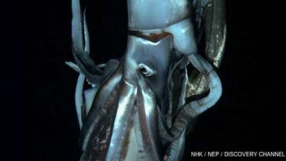 Squid news from last year:Live giant squid! Discovery Channel says it's got first vids of the krakenScreen grab from footage captured by NHK and Discovery Channel taken in July 2012 shows a giant squid in the sea near Chichi island.