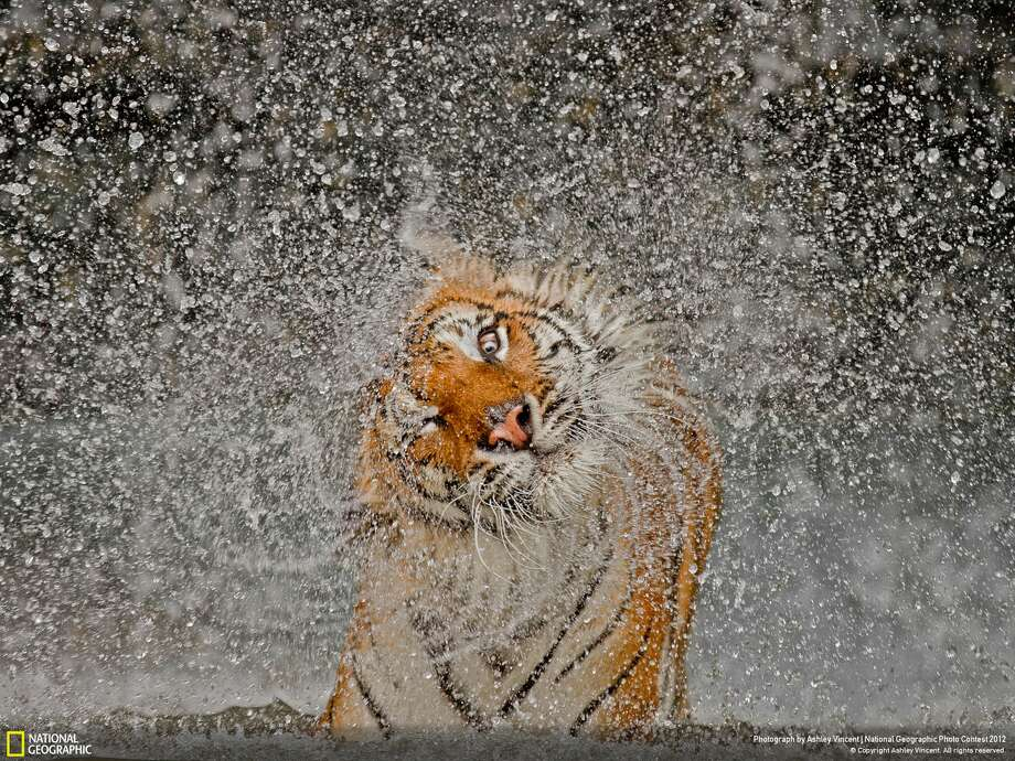 "This photo, called ""The Explosion!,"" was announced Monday as the winner of the 2012 National Geographic Photography Contest. Photographer: Ashley Vincent Location: Chonburi, Thailand Says Vincent: ""The subject's name is Busaba, a well-cared-for Indochinese Tigress whose home is at Khao Kheow Open Zoo, Thailand. I had taken many portraits of Busaba previously, and it was becoming more and more difficult to come up with an image that appeared any different to the others. Which is why I took to observing her more carefully during my visits, in the hope of capturing something of a behavioural shot.""""The opportunity finally presented itself while watching Busaba enjoying her private pool, then shaking herself dry. In all humility, I have to say that Mother Nature smiled favourably on me that day!"" Photo: Ashley Vincent / 2012 National Geographic Photography Contest"