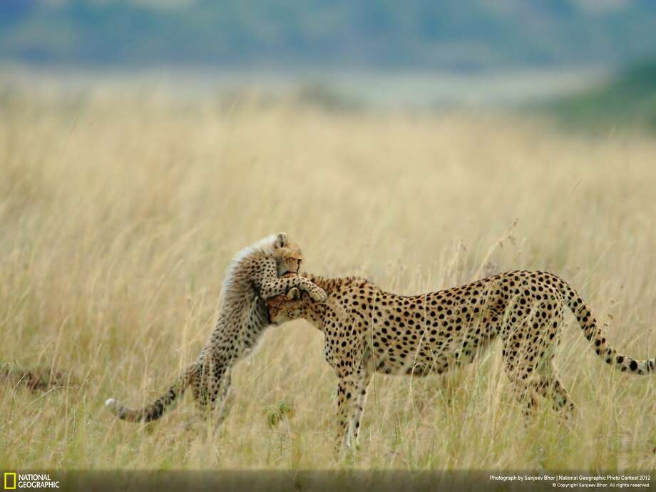 "Viewers' Choice winner in the ""nature"" category: ""Tender Moment""Photographer: Sanjeey Bhor Location: Masai Mara National Reserve, KenyaBhor: ""Everyday in Mara starts with something new and different, and day ends with memorable experiences with spectacular photographs. I was very lucky of sighting and photographing Malaika, the name of (the) female cheetah and her cub. She is well known for (her) habit to jump on vehicles. She learned that from her mother, Kike, and Kike from her mother, Amber.""""Like her mother, she is teaching lessons to her cub. Teaching lessons means addition of another moment for tourist. This is one of the tender moments between Malaika and her cub. I was very lucky to capture that moment."" Photo: Sanjeev Bhor / 2012 National Geographic Photography Contest"
