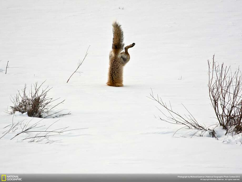 """Honorable mention: """"Red Fox catching mouse under snow"""" Photographer: Micheal EastmanLocation:  Squaw Creek, Park Country, WyomingEastman: """"With his exceptional hearing, a red fox has targeted a mouse hidden under two feet of crusted snow. Springing high in the air, he breaks through the crusted spring snow with his nose, and his body is completely vertical as he grabs the mouse under the snow."""" Photo: Micheal Eastman / 2012 National Geographic Photography Contest"""