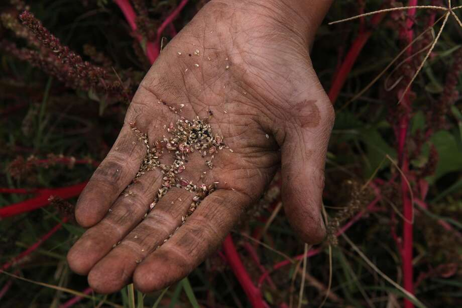 Kristyn Leach shows amarynth seeds which she grows at Sunol Agricultural Park in Sunol, Calif. (The Chronicle)