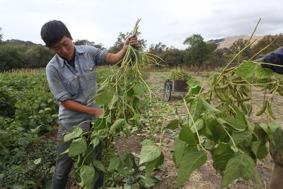 Kristyn Leach picking korean black soybeans . (The Chronicle)