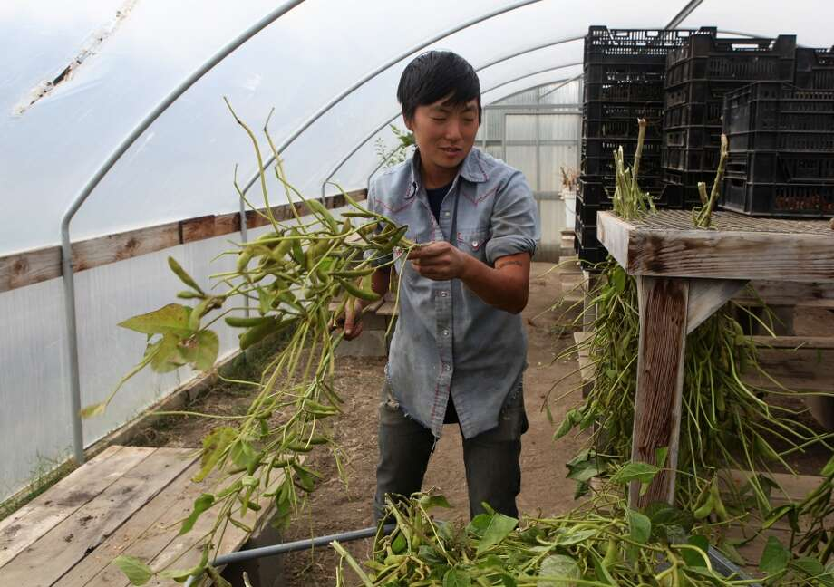Kristyn Leach hanging Korean black soybeans to dry. (The Chronicle)