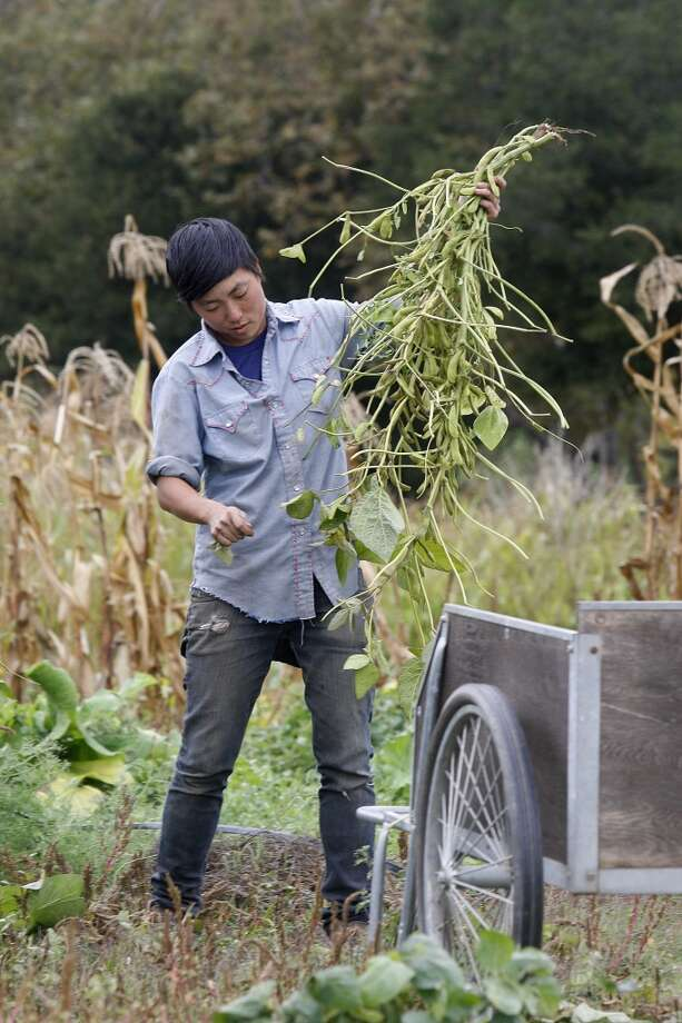 Kristyn Leach picking Korean black soybeans. (The Chronicle)