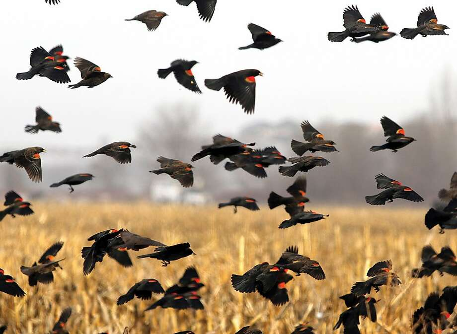 A flock of Red-winged blackbirds flies through a corn field Monday, Jan. 7, 2013, in West Richland, Wash. One of the most abundant birds in North America, the brightly colored bird can be found from Alaska to Mexico. Photo: Richard Dickin, Associated Press