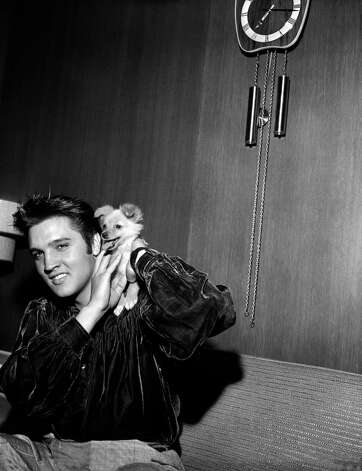 Rock and roll star Elvis Presley plays with his puppy Sweet Pea after a brief fistfight the evening of Oct. 18, 1956 with two filling station attendants, one of whom received a black eye.  Presley said one of the men slapped him as he was signing autographs.  All were scheduled to appear in court the following day. (AP Photo/Gene Herrick) Photo: GENE HERRICK, STF