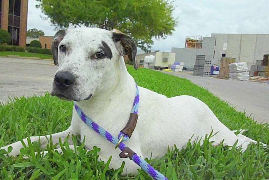 Sheera is one of the dogs awaiting adoption through the K-9 Angels Rescue group. Photo: K-9 Angel Rescue