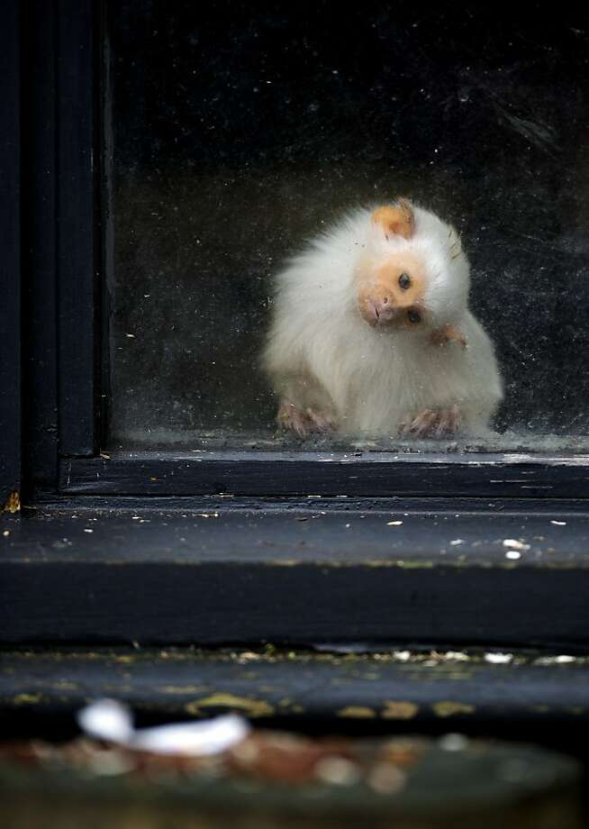 It kinda looks edible: A silvery marmoset tilts its head to get a better view of a white thing that might be food or might have once contained food at England's Whipsnade Zoo. Unfortunately it's a moot point as the window is closed. Photo: Adrian Dennis, AFP/Getty Images