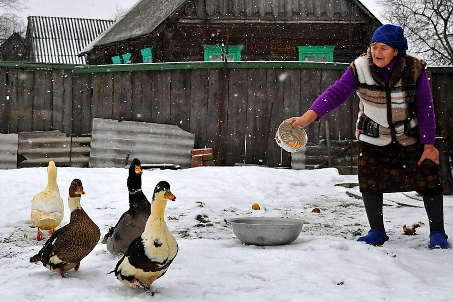 Come and get it! A farm woman feeds her geese in the village of Pererov, Belarus.