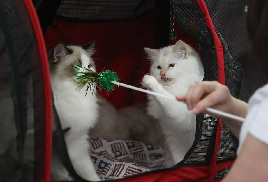 She knows of our mystifying compulsion to attack ribbons on a stick, yet she provokes us anyway! Rag doll breed Les Bon Temps Rouler puts up his dukes as his fellow rag doll, Quannah Parker, gets a face full of cat toy at the Houston Cat Club Charity Cat Show. Photo: Mayra Beltran, Houston Chronicle