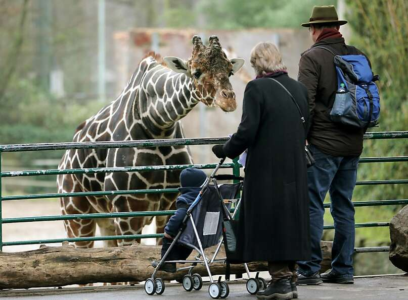 Welcome to my neck of the woods: A giraffe bends over to examine a human family at the zoo in