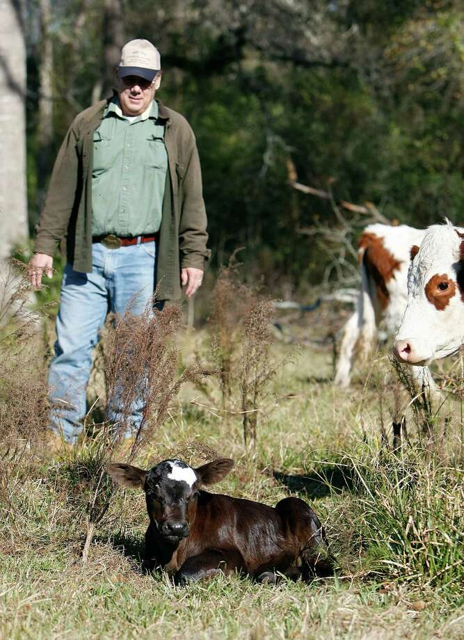 Richard Bruman gets close to the days-old calf that was born with a marking that resembles the state of Texas at Harvester Hill Ranch Sunday, Jan. 6, 2013, in Hockley. Bruman said he has been ranching for about 30 years and has never seen a marking like that before. Photo: Johnny Hanson, Houston Chronicle / © 2012  Houston Chronicle