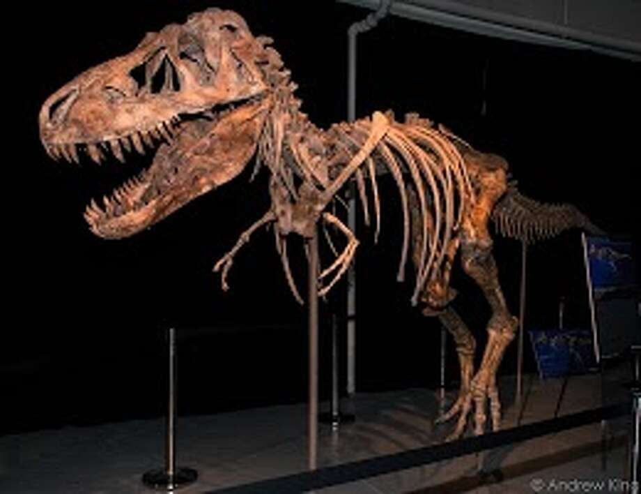 This Tyrannosaurus Battar dinosaur skeleton was on the auction block in New York but is now slated for return to Mongolia. Photo: Andrew King