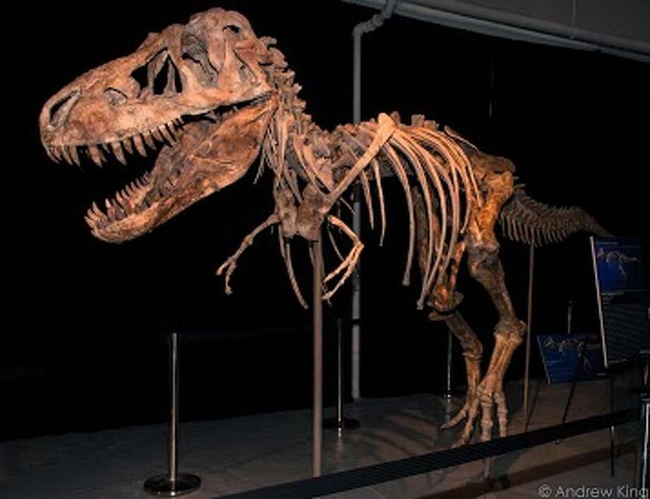 A Tyrannosaurus bataar dinosaur skeleton that was discovered in Mongolia.