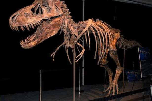 This Tyrannosaurus bataar dinosaur skeleton was on the auction block in New York, but it is now slated for return to where it was discovered, Mongolia. The assembled bones are 30 feet in length and 10 feet high.