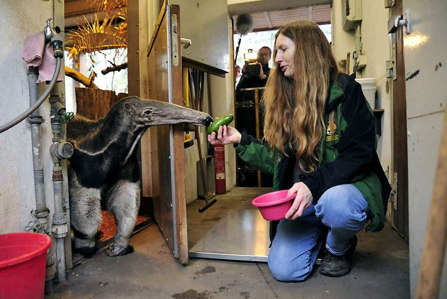 How dare you serve me food that's not crawling with insects?! Estrella the anteater sniffs at an avocado offered by a zookeeper during the annual inventory at the zoo in Magdeburg, Germany. Photo: Pauline Willrodt, AFP/Getty Images