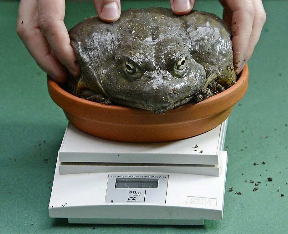 Just because I resemble Jabba the Hutt doesn't mean I'm fat:So I ate like 47 flies for breakfast. They're protein! And by the way, your fingers aren't helping. (An African bullfrog is weighed for the Dresden Zoo stocktaking.) Photo: Jens Meyer, Associated Press