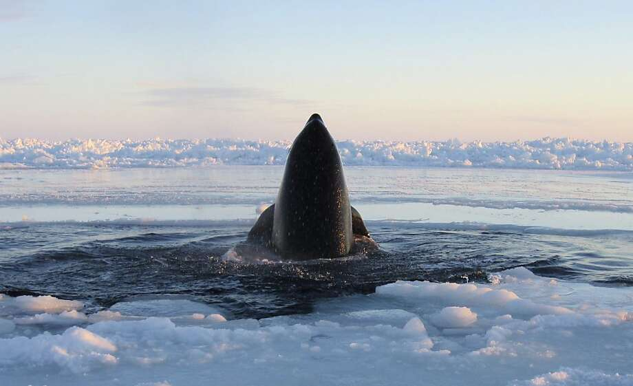 In this Tuesday, Jan. 8, 2013 photo provided by Marina Lacasse, a killer whale surfaces through a small hole in the ice near Inukjuak, in Northern Quebec. Mayor Peter Inukpuk urged the Canadian government Wednesday to send an icebreaker as soon as possible to crack open the ice and help the pod of about a dozen trapped orcas find open water. The Department of Fisheries and Oceans said it is sending officials to assess the situation. Photo: Marina Lacasse, Associated Press