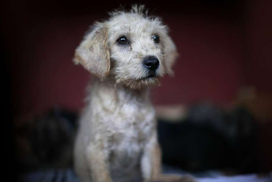Unlikely suspect: This puppy, now caged in a city dog pound in Mexico City, was caught near the site of four fatal maulings attributed to feral dogs in the capital's poor Iztapalapa district. Authorities have captured dozens of dogs near the scene of the attacks, but rather than calm residents, photos of the forlorn dogs have sparked a wave of sympathy for the animals and doubts about their involvement in the killings. Photo: Dario Lopez-Mills, Associated Press