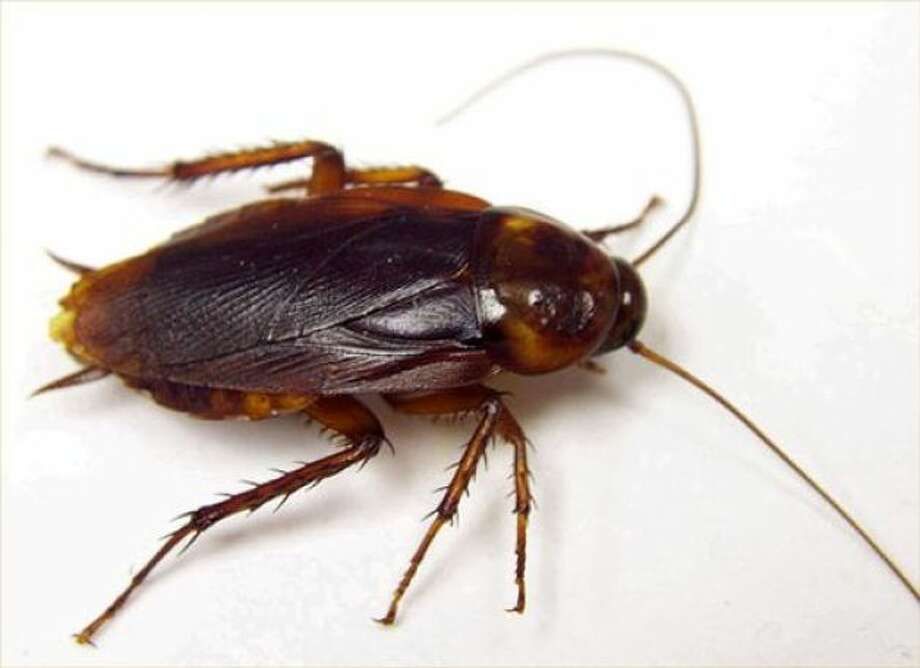 Not only are they likely to survive a nuclear disaster but now, at 45 percent, cockroaches are more liked than U.S. Congress.  (AP Photo)