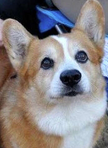 Andy, the corgi owned by Jordina Ghiggeri, ran off during New Year's Eve celebrations in Westport last year, prompting a months-long search throughout the region. Photo: Contributed Photo / Westport News