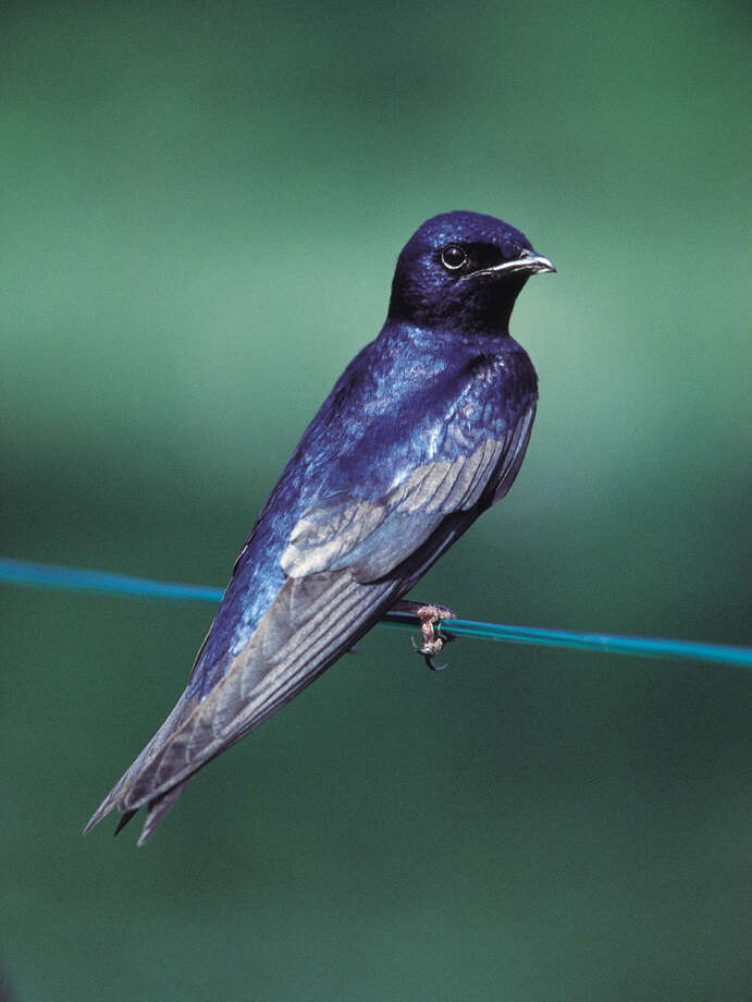 Purple martin scouts typically show up along the Texas coast in early January. Photo: Courtesy Photo