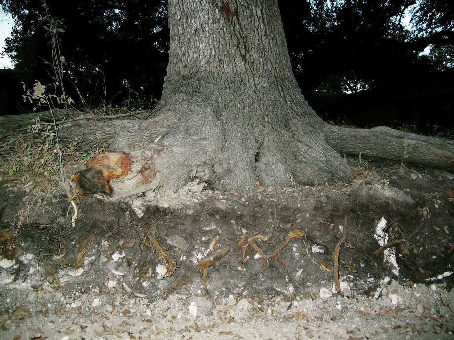 The relatively thin layer of black Branyon clay in which this live oak is growing was revealed by a road project near Seguin. Photograph by Forrest M. Mims III. Photo: Forrest M. Mims III, For The Express-News