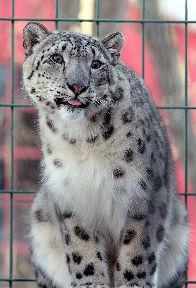 And now, a snow leopard with a pink tongue:This handsome boy's name is Dian. (Potawatomi Zoo in South Bend, Ind.) Photo: Greg Swiercz, Associated Press
