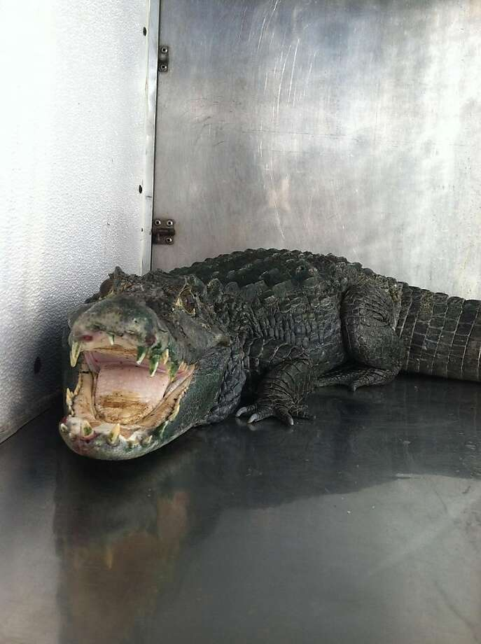 Mr. Teeth, the alligator found guarding a marijuana stash in Castro Valley. Photo: Alameda County Sheriff