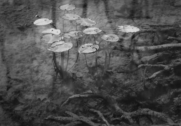 David Gibson, Water Lilies, Cypress Creek, Wimberley, Texas, 1997, gelatin silver print, selenium toned, 9 7/16 x 13 3/16. Showing at the Art Museum of Southeast Texas