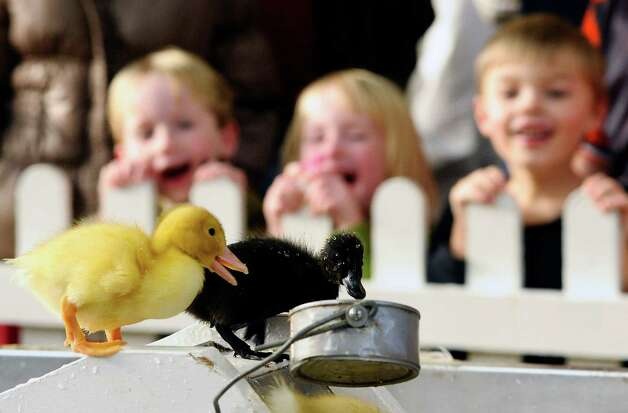 Children watch ducklings presented by Penn State University at the Pennsylvania Farm Show on Tuesday, Jan. 8, 2013, at the Farm Show Complex & Expo Center in Harrisburg, Pa.  (AP Photo/The News-Item, Larry Deklinski) Photo: Larry Deklinski