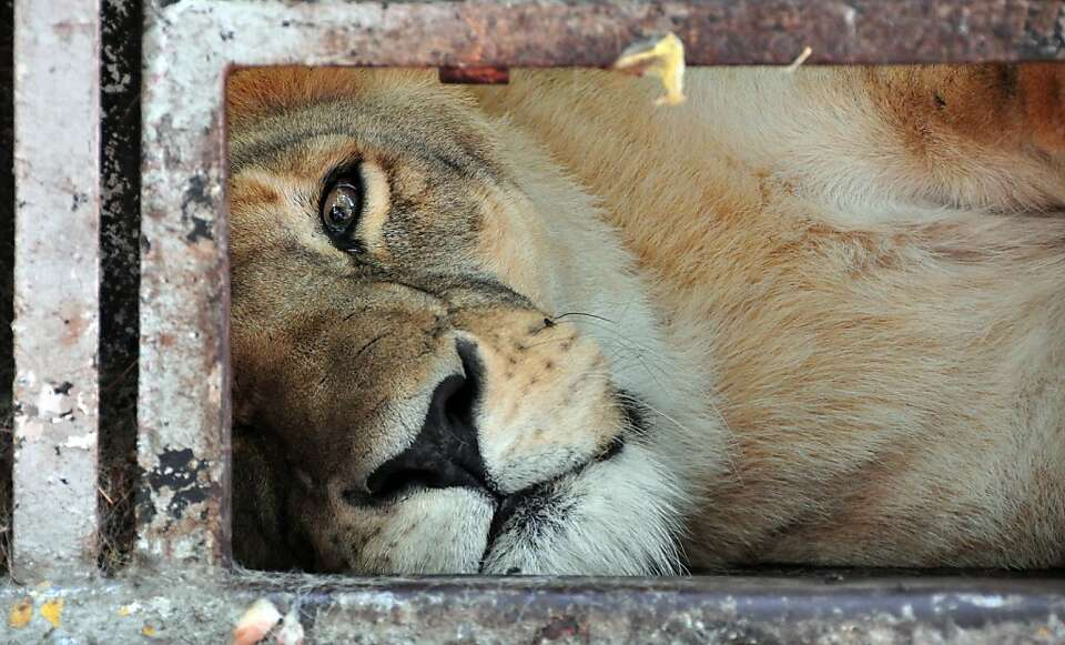 An African lioness --of a group of seven-- remains in a cage in a zoo in Asuncion on January 10, 201