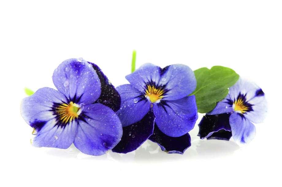 Blue Pansies / Ivonne Wierink - Fotolia