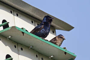 Purple martins eat tons of flying insects.  Scouts will arrive soon to find a suitable residence for the spring and summer.  Now is the time to install a nest box or refurbish old boxes.  Photo Credit:  Kathy Adams Clark.  Restricted use.